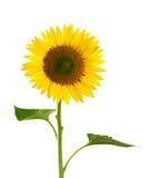 girasol aislado en vástago y la hoja de la flor de white Fotografía de archivo libre de regalías
