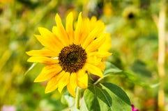 girasol amarillo Imagen de archivo libre de regalías