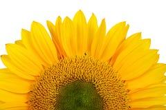 girasol amarillo Imágenes de archivo libres de regalías
