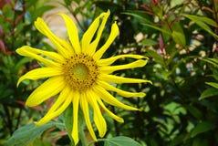 girasol amarillo Imagenes de archivo