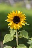 girasol amarillo Fotos de archivo