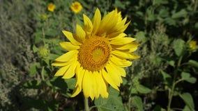 girasol amarillo Foto de archivo libre de regalías