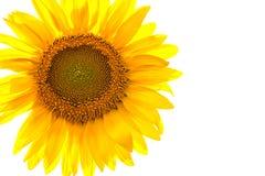 Girasol amarillo aislado Imagen de archivo libre de regalías