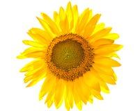 Girasol amarillo aislado Foto de archivo libre de regalías
