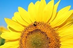 Girasol amarillo brillante Foto de archivo