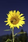 Girasol amarillo brillante. Fotografía de archivo libre de regalías