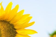Girasol amarillo brillante Foto de archivo libre de regalías