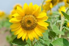 Girasol amarillo brillante Imagenes de archivo