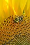 Girasol amarillo brillante con cierre para arriba de una abeja Imagenes de archivo