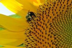 Girasol amarillo brillante con cierre para arriba de una abeja Fotos de archivo