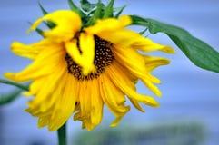 Girasol amarillo brillante con el cielo azul Foto de archivo libre de regalías