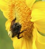 Girasol amarillo brillante con la abeja Imagenes de archivo