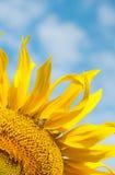 Girasol amarillo brillante con una abeja Foto de archivo libre de regalías