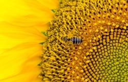 Girasol amarillo brillante con una abeja que recoge el primer del polen Imágenes de archivo libres de regalías