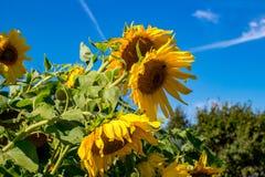 Girasol amarillo brillante contra el cielo azul imagen de archivo