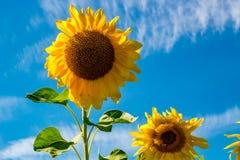 Girasol amarillo brillante contra el cielo azul fotografía de archivo