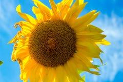 Girasol amarillo brillante contra el cielo azul imágenes de archivo libres de regalías