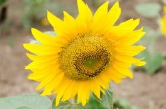 Girasol amarillo brillante en el campo del girasol Fotos de archivo