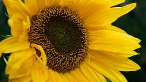 Girasol amarillo brillante en primer del verano en su jardín imágenes de archivo libres de regalías