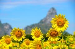 Girasol amarillo brillante sobre el cielo azul Fotografía de archivo