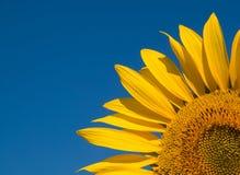 Girasol amarillo brillante sobre el cielo azul imagen de archivo libre de regalías