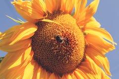Girasol amarillo brillante sobre el cielo azul Imagen de archivo
