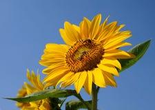 Girasol amarillo brillante y cielo azul Imagenes de archivo