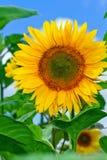 Girasol amarillo con el fondo del cielo azul Fotos de archivo libres de regalías