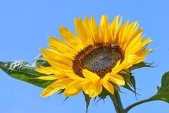 Girasol amarillo con la abeja contra un cielo azul Foto de archivo