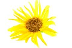 Girasol amarillo con la hoja verde Fotos de archivo