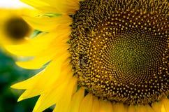 Girasol amarillo con polen del rpick de la abeja Fotografía de archivo