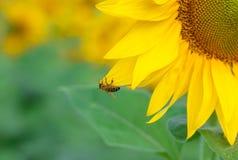 Girasol amarillo con una abeja Foto de archivo libre de regalías