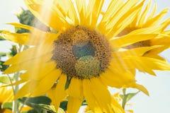 Girasol amarillo contra el cielo azul, fotografía de archivo