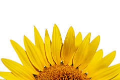 Girasol amarillo de Outstanded Imagen de archivo libre de regalías
