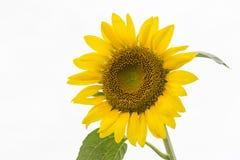 Girasol amarillo del color Fotos de archivo