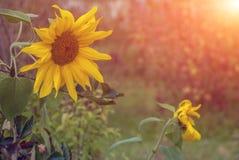 Girasol amarillo dos iluminado por el sol poniente Imágenes de archivo libres de regalías