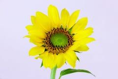 Girasol amarillo en tronco Imagen de archivo libre de regalías
