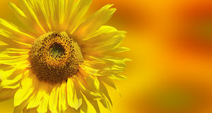 Girasol amarillo fantástico Imagen de archivo