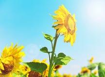 Girasol amarillo floreciente en los rayos Foto de archivo