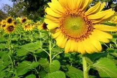 Girasol amarillo grande Fotografía de archivo libre de regalías
