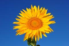 Girasol amarillo hermoso Imagen de archivo