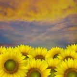 Girasol amarillo hermoso ilustración del vector