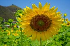 Girasol amarillo hermoso brillante redondo del primer que muestra el modelo natural del polen, la abeja y el pétalo suave con el  Fotografía de archivo