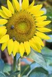 Girasol amarillo hermoso con la abeja Imágenes de archivo libres de regalías
