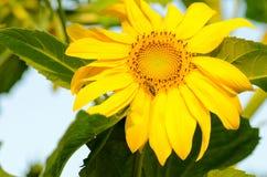 Girasol amarillo hermoso con la pequeña abeja en ella Foto de archivo libre de regalías