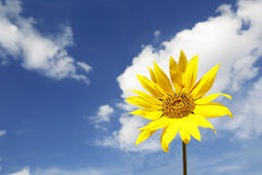 Girasol amarillo hermoso en un cielo azul Imagenes de archivo