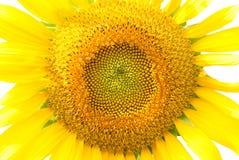 Girasol amarillo lleno en el centro en el fondo blanco Fotos de archivo