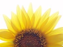 Girasol amarillo natural Foto de archivo libre de regalías