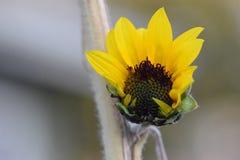 Girasol amarillo que abre 04 Fotografía de archivo libre de regalías