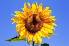 Girasol amarillo sobre el cielo azul Fotos de archivo libres de regalías